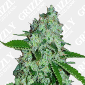 Cream Caramel Auto Feminized Seeds