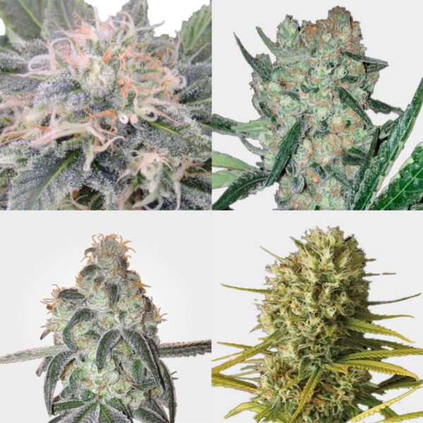 mixed premium feminized seeds mixed pack