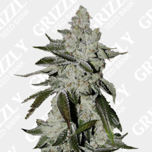 Girl Scout Cookies Auto seeds