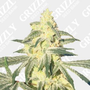 Glue Auto Feminized Seeds
