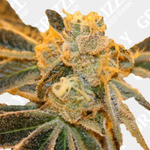 sherbet bx regular seeds
