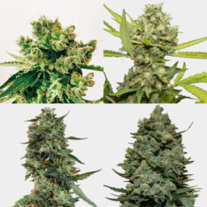 Mixed Barney's Farm Feminized Pack