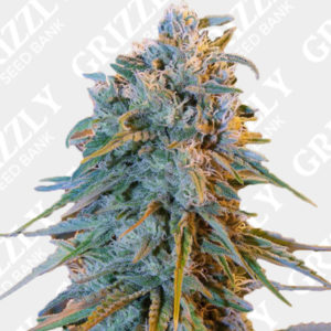 Blue Dream Feminized Seeds