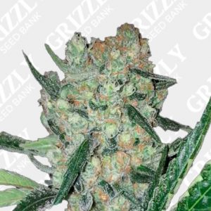 Blueberry Ghost OG Feminized Seeds