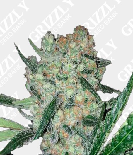Blueberry Ghost OG Feminized Seeds