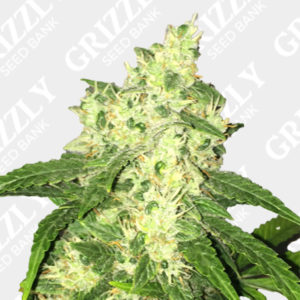 Bulk Cheese Auto seeds