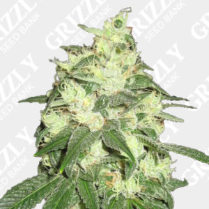 Buy Humboldt Seeds | Grizzly Seed Bank | Next Day Delivery
