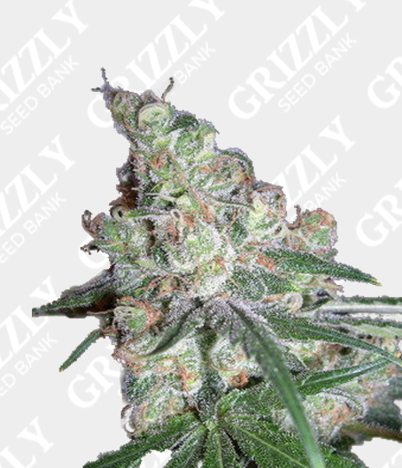 Chocolope Feminized Seeds