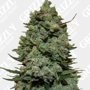 Cookies Kush feminized Seeds