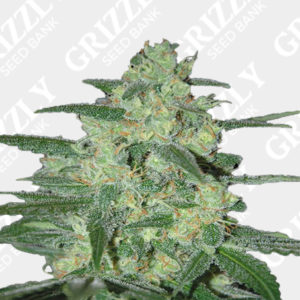Holy Grail 69® Feminized Seeds