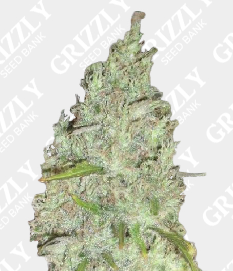 Incredible Bulk Feminized Seeds