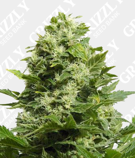 LA Cheese Feminized Seeds