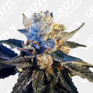 LA Cookies feminized seeds