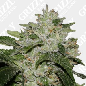 Lemon og kush Feminized Seeds