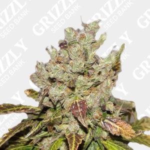 Bulk Mango haze Regular seeds