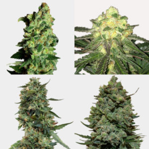 Mixed High Yield Feminized Seeds Pack