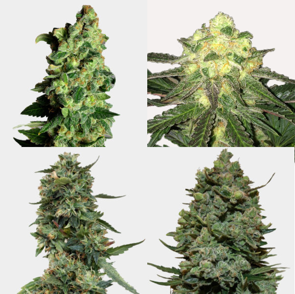 Mixed High Yield Feminized Seeds