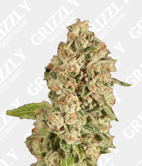 OG Reekn Feminized Seeds