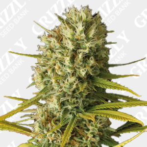 Original Amnesia Feminized Seeds