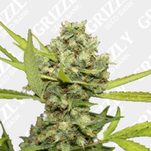 Pineapple Chunk Feminized Seeds