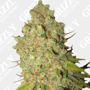 Sweet Kush Feminized seeds