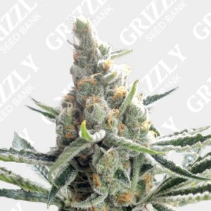 Crocketts Tangie Regular Seeds