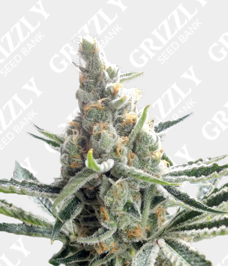 Crocketts Tangie Regular Seeds