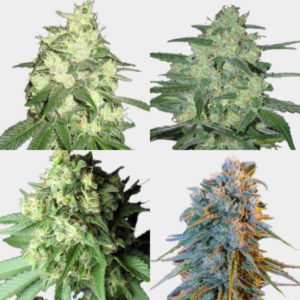 mixed premium feminized seeds pack #3