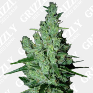 Super Silver Haze Regular Seeds