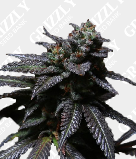 Blue Sherbet S1 Feminized Seeds