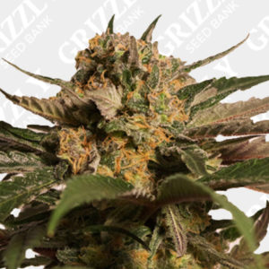 CBD Blue Shark Feminized Seeds