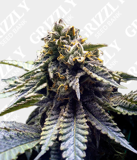 Chocolate Mint OG Feminized Seeds