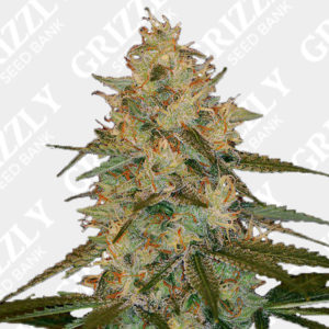 Chocolope kush Feminized Seeds