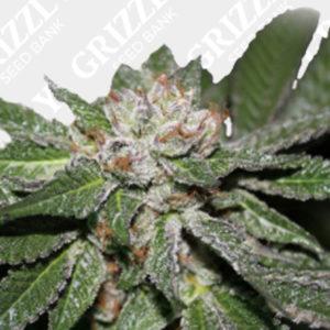 Wedding Cake Regular Seeds | Grizzly Seed Bank UK | Purple Caper Seeds