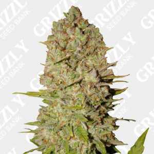 Pineapple Express Auto feminized Seeds