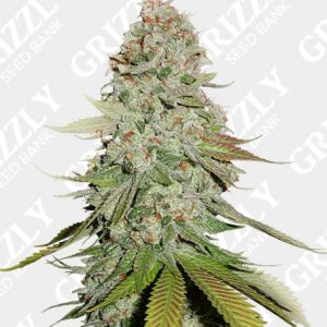 Gorilla Glue #4 Feminized Seeds