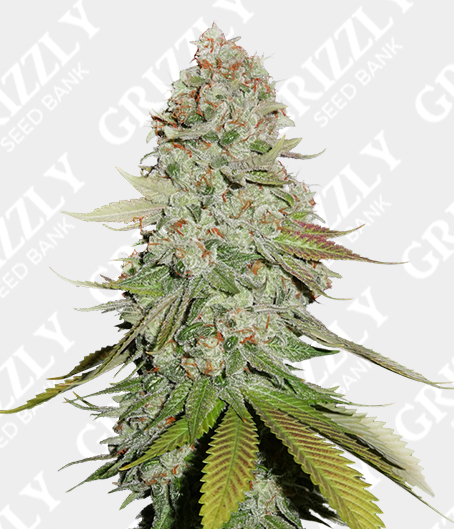 Gorilla Glue #4 Feminized Seeds