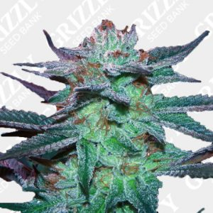 Sherb Tree Feminized Seeds