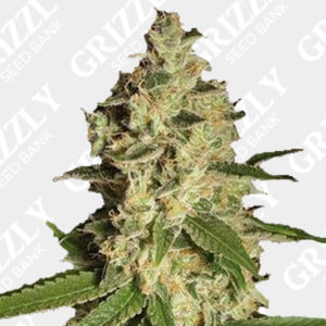 Sour Diesel #2 Feminized Seeds