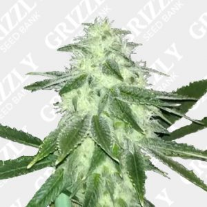 Sour Lemonaid OG Feminized Seeds
