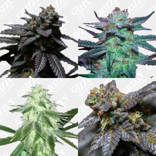 The Plug Mixed Seed Feminized Pack
