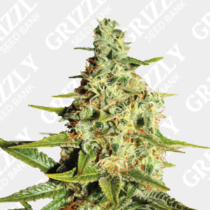 Tangerine dream feminized seeds bank