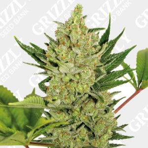 Blue Cheese Auto Feminized Seeds