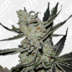 Cheesecake Auto Feminized Seeds