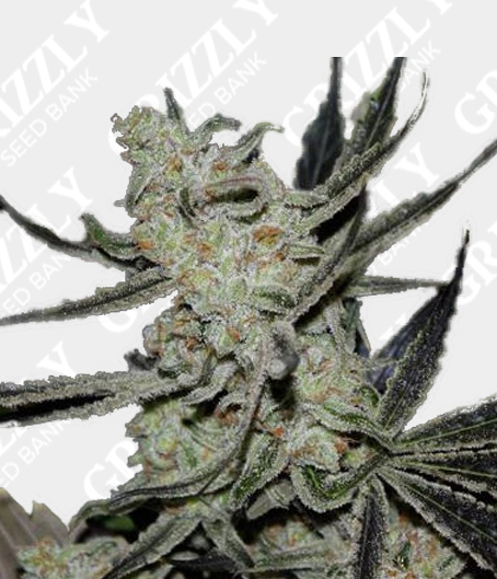 wedding cake feminised seeds uk cheesecake auto feminized seeds grizzly seed bank the 22604