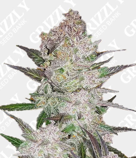 Cream Cookies Auto Feminized Seeds
