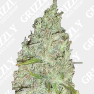 Incredible Bulk Auto Feminized Seeds