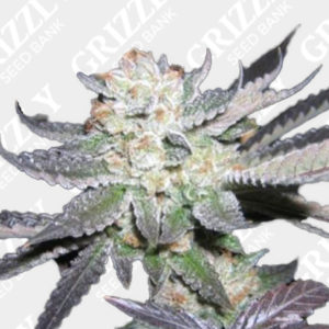 Purple Punch Feminized Seeds