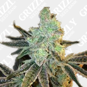 Sour Lemon Tart Auto Feminized Seeds