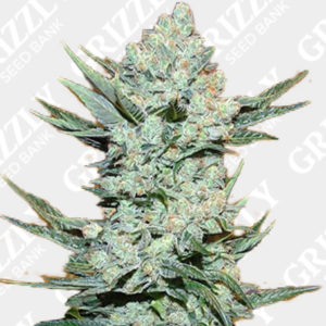 Tangie matic Auto Feminized Seeds